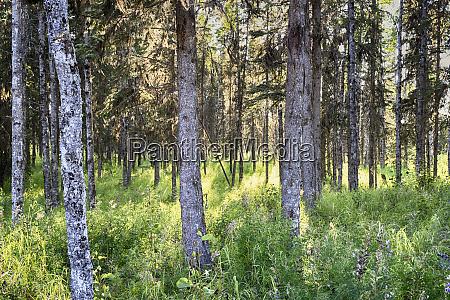 kasilof river forested area