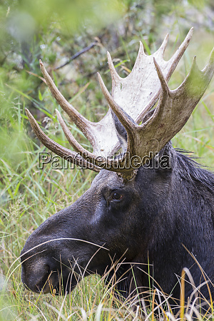 usa wyoming sublette county bull moose