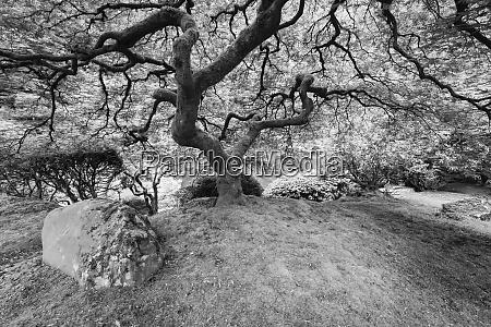 japanese maple portland japanese garden oregon