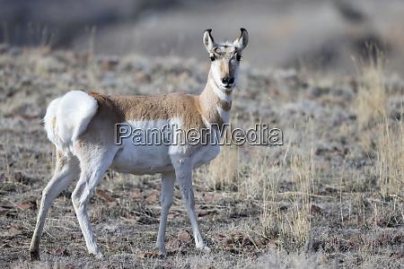 usa wyoming yellowstone national park pronghorn
