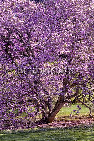 usa pennsylvania tree in bloom credit