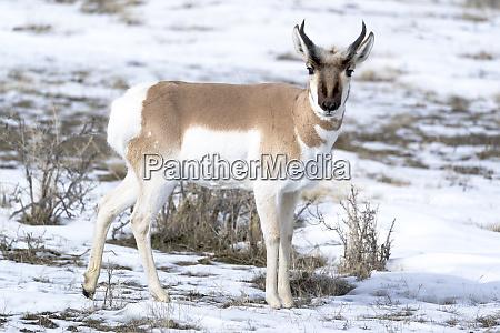 usa wyoming yellowstone national park male