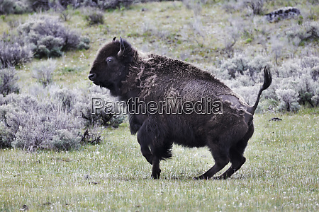 yellowstone national park an american bison