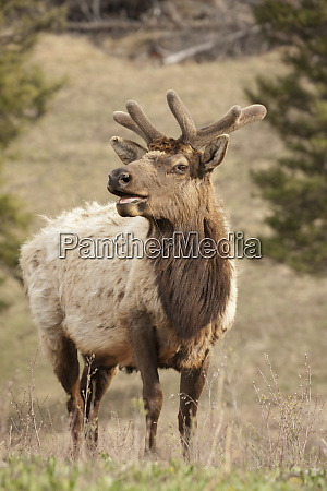 yellowstone national park wyoming usa male