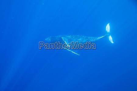 big island hawaii usa humpback whales