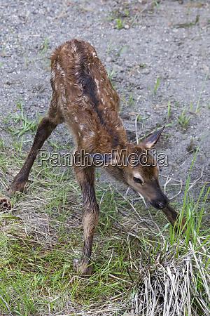 rocky mountain elk newborn calf