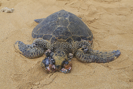 green sea turtle chelonia mydas with