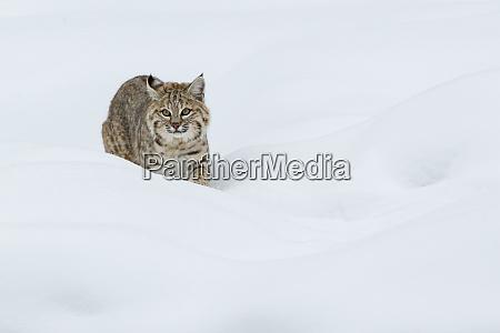 bobcat stalking in deep snow