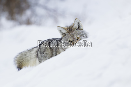 coyote on a winter hunt