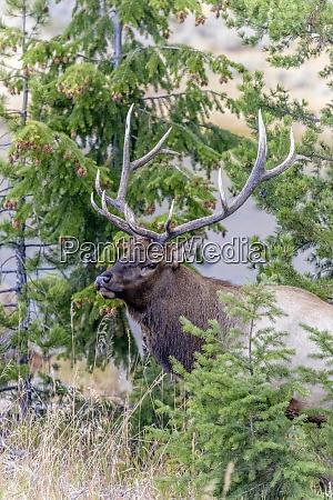 yellowstone national park wyoming usa bull