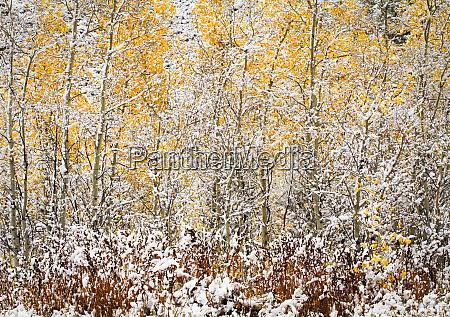 usa wyoming autumn aspen trees and