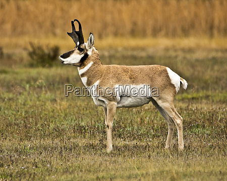 male pronghorn antelope flats grand teton