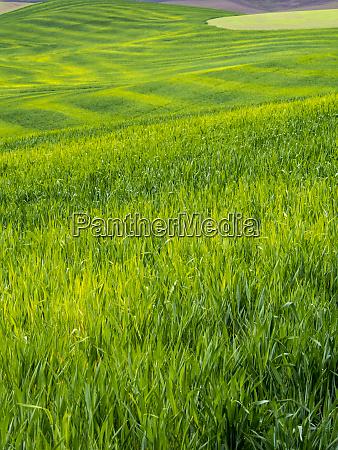 usa idaho palouse rolling green hills