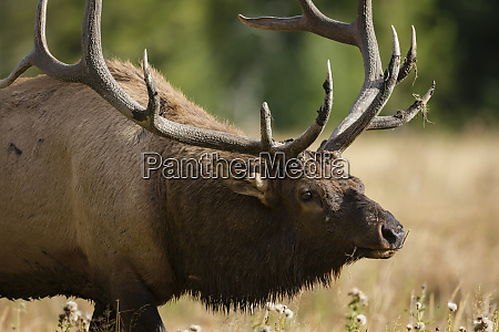 mud covered antlers on a rocky