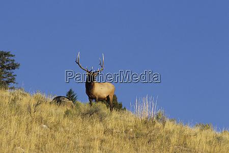 elk or wapiti cervus elaphus bull