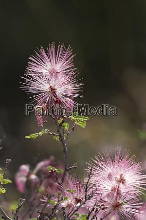 fairy duster calliandra eriophylla glows in