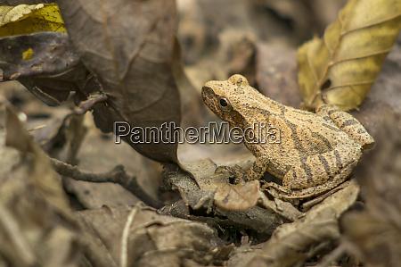 pepper treefrog st francois state park