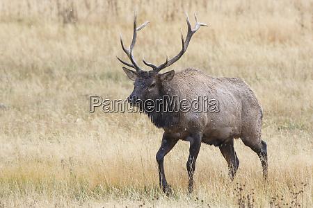elk cervus canadensis bull male yellowstone