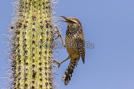 usa arizona sonoran desert cactus wren