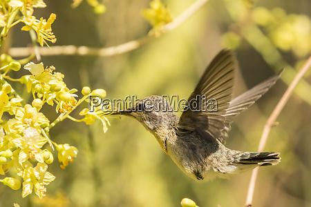 usa arizona sonoran desert hummingbird feeding