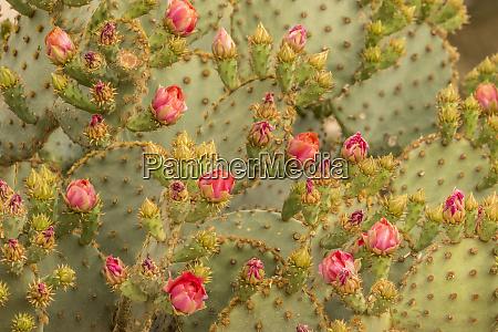 usa arizona sonoran desert prickly pear