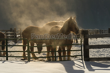 steam rising from horses after morning