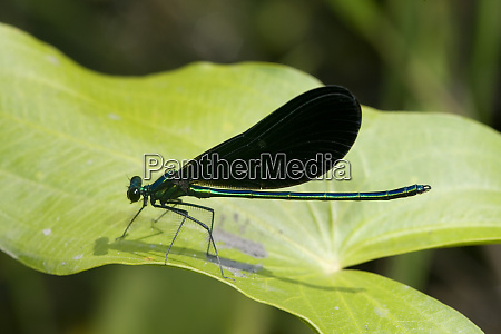 ebony jewelwing calopteryx maculata male lawrence