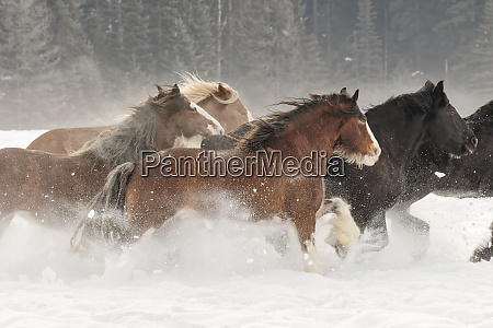 belgian horse roundup in winter kalispell