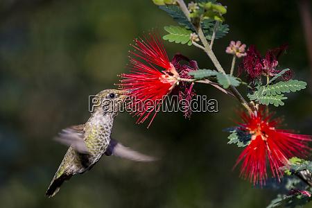 female annas hummingbird at the arizona