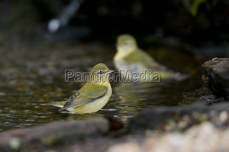 tennessee warblers vermivora peregrina bathing marion