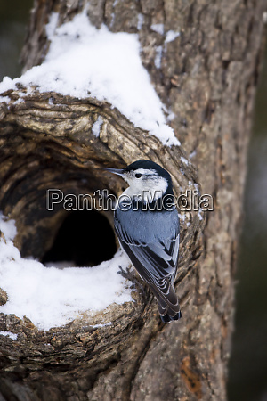 white breasted nuthatch sitta carolinensis on
