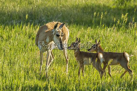 usa south dakota custer state park