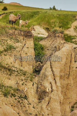 bighorn sheep with lambs in badlands