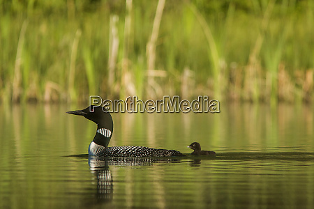 common loon with newborn chick on