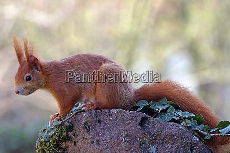 female squirrel sciurus vulgaris