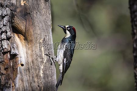 acorn woodpecker melanerpes formicivorus on alligator