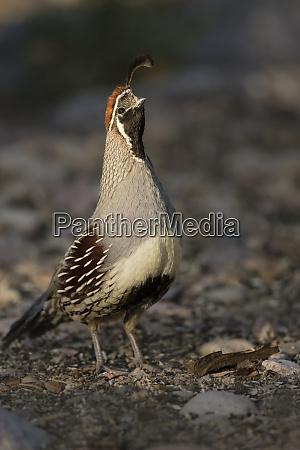 gambels quail callipepla gambelii foraging