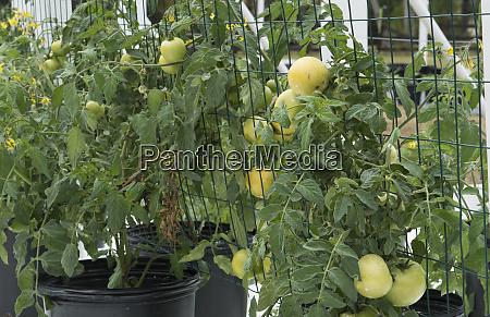 central florida organic garden with tomato