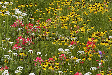 meadow of red texas paintbrush and