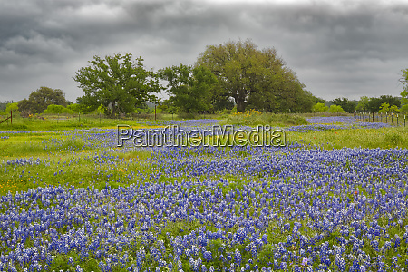 expansive meadow texas bluebonnet flowers and