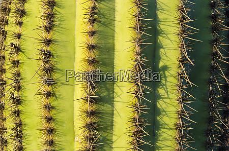 organ pipe cactus detail organ pipe