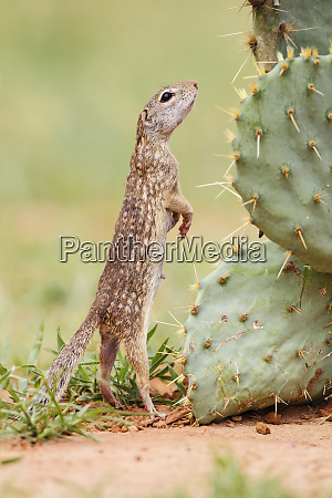 mexican ground squirrel spermophilus mexicanus searching