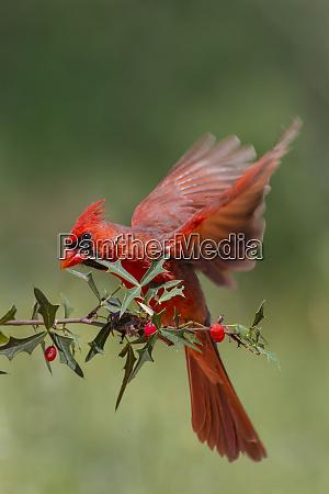 northern cardinal cardinalis cardinalis adult male