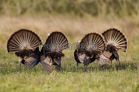 wild turkey meleagris gallopavo males strutting