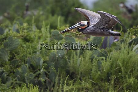 brown pelican pelecanus occidentalis carrying nest