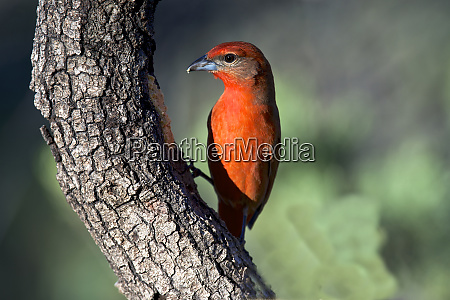 hepatic, tanager, (piranga, flava), , a, medium-sized - 27827796
