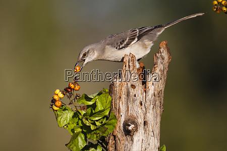 northern mockingbird mimus polyglottos feeding on