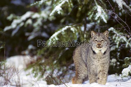 lynx lynx canadensis captive animal montana