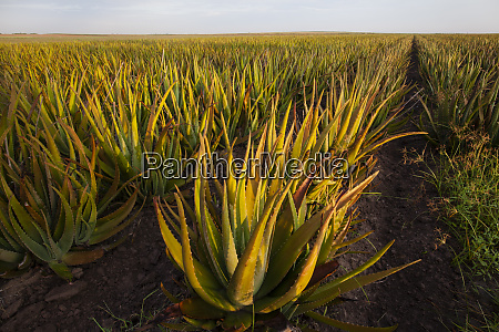 aloe growing as a crop