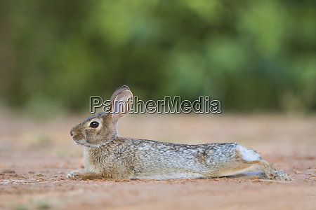 eastern cottontail rabbit sylvilagus floridanus resting